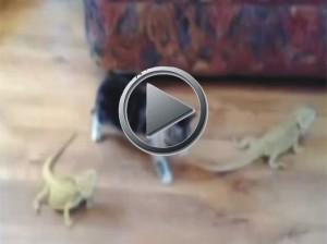 Bukalemun gören masum kedi