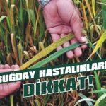 Buğday hastalıklarına dikkat!