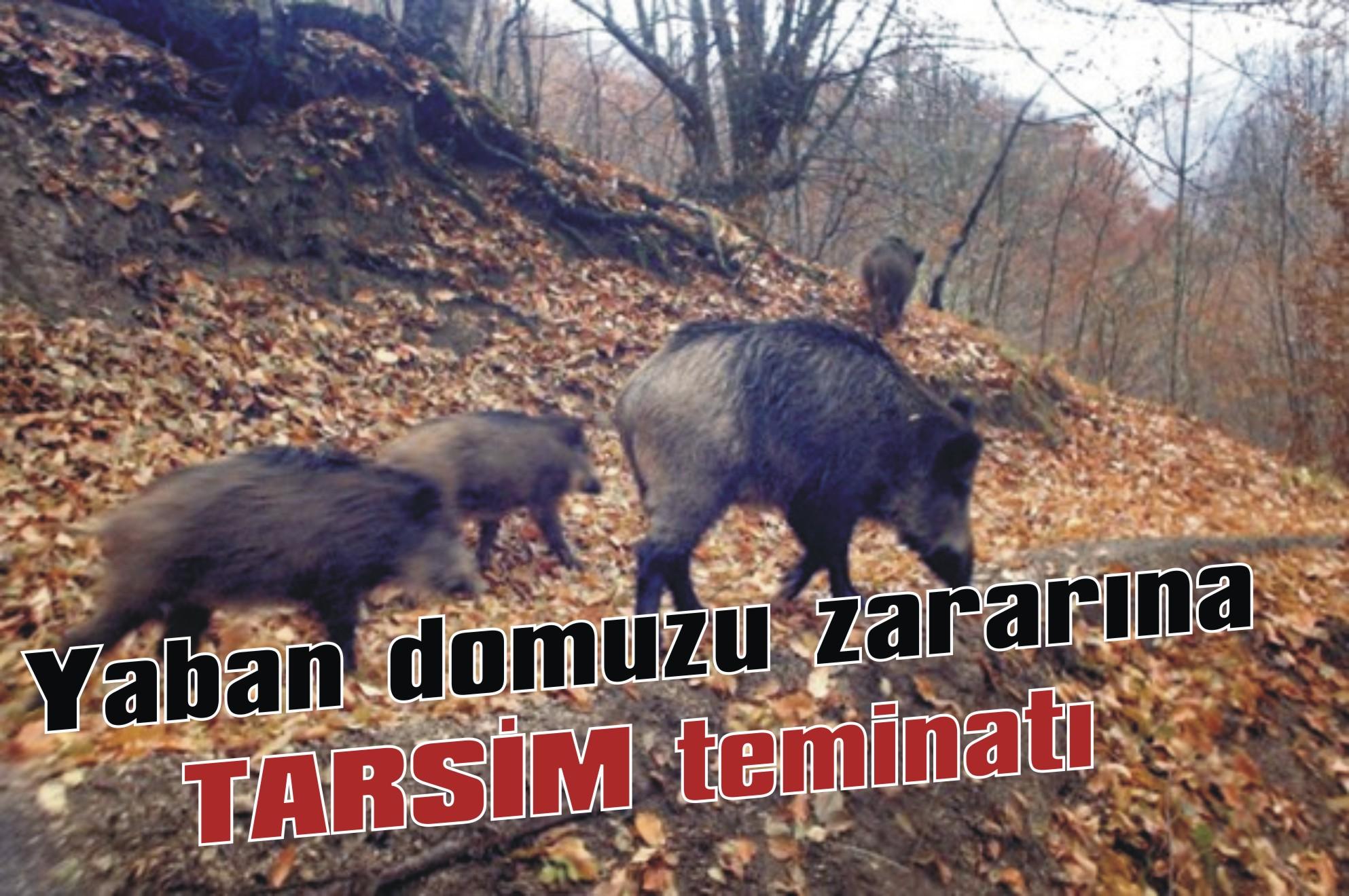 Yaban domuzu zararına TARSİM teminatı