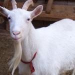 Üniversiteli keçiler bebekler için çok faydalı